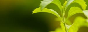 stevia-E960-glycosides-steviol-steviolglycosiden