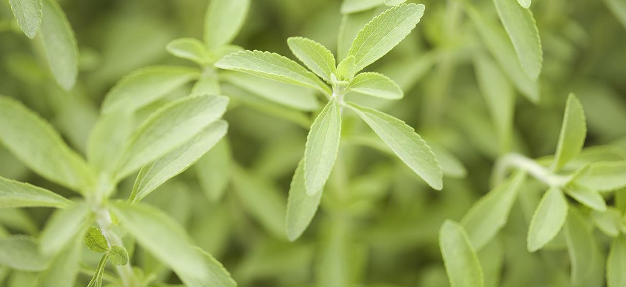 culture-stevia-Flandre